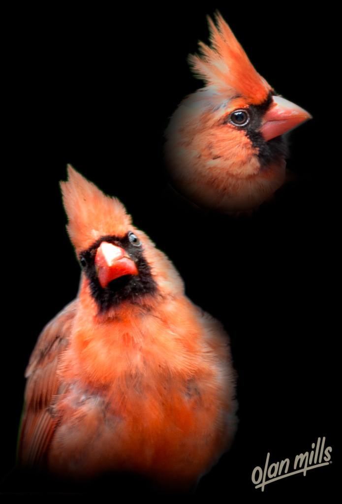 male-northern-cardinal-28