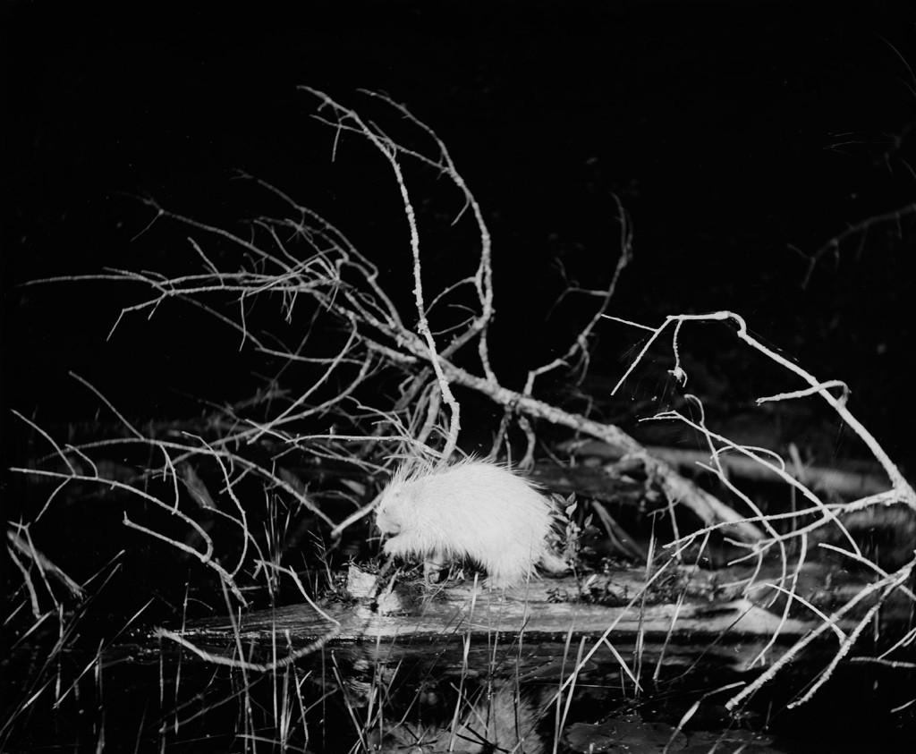 Albino-porcupine-on-a-floating-log-Whitefish-Lake-Lake-Superior-region-Michigan-July-1-19051